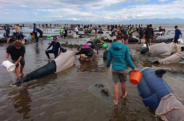 Cientos de personas intentaron salvar a las ballenas. (REUTERS)
