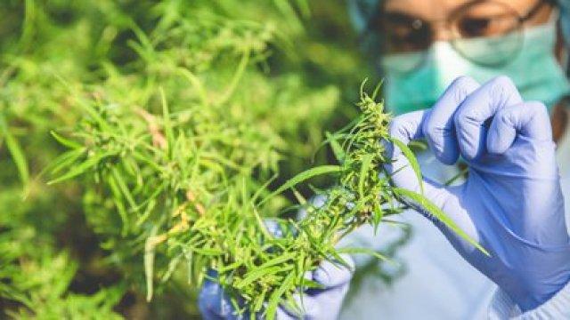 Países de Europa ya incluyen hace tiempo al cannabis dentro de su farmacopea (Shutterstock)
