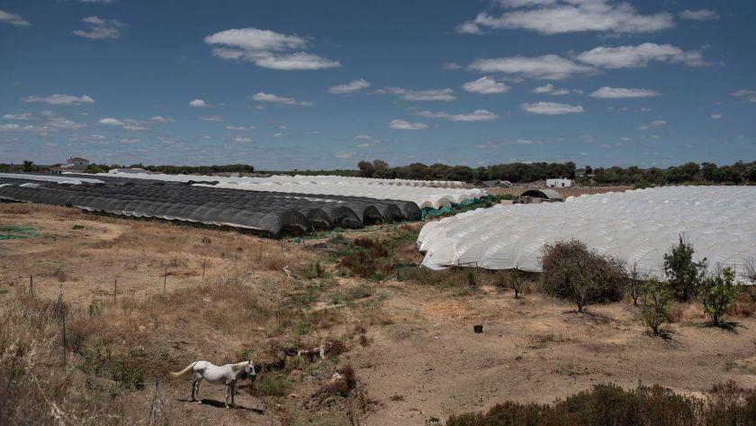 Invernaderos de plástico cerca de Cartaya, España. Las fresas son consideradas como oro rojo y son la base de una industria de 650 millones de dólares en el país, que es el importador número uno de esa fruta en Europa (María Contreras Coll para The New York Times)