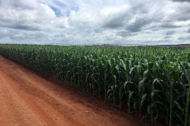 El maíz será uno de los cultivos que volverá a registrar un importante nivel de exportaciones