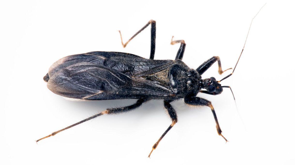 La vinchuca es el vector transmisor de la enfermedad (Shutterstock)