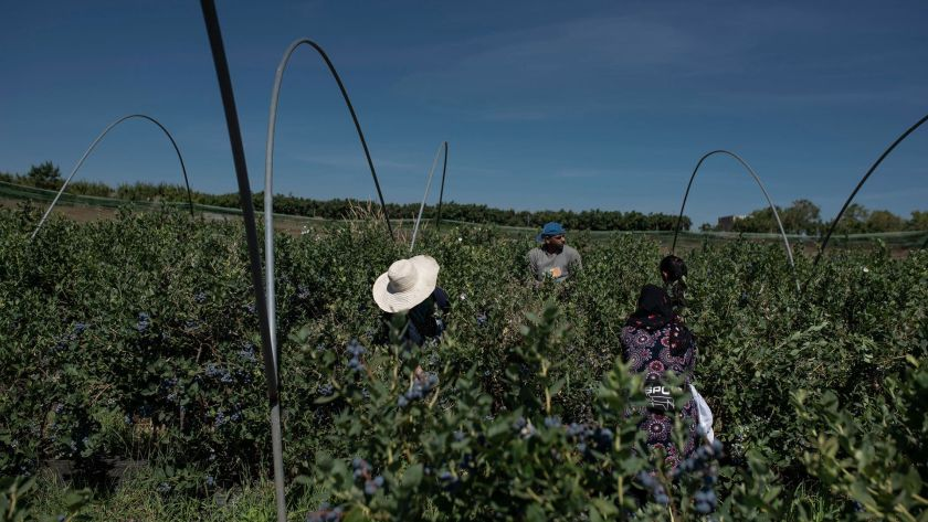 Cosechando moras azules en una granja española (María Contreras Coll para The New York Times)