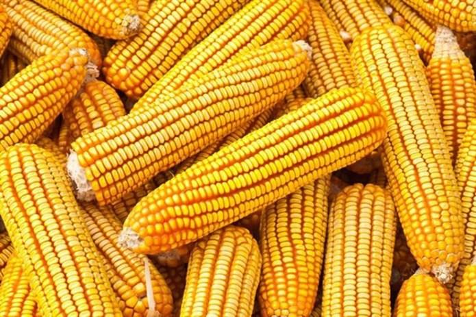 El maiz superará las 47 millones de toneladas, un 48% de incremento con respecto a la campaña anterior (Foto: Especial)