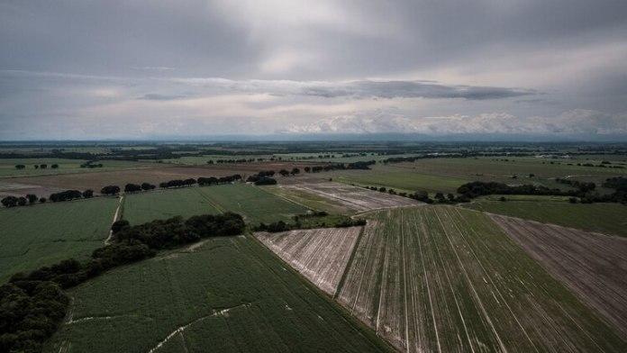 Campos cultivados (izquierda) alternan con campos abandonados en Turén (Adriana Loureiro Fernández para The New York Times)