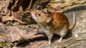 Los roedores pueden ser un reservorio de virus, como el hantavirus (Shutterstock.com)