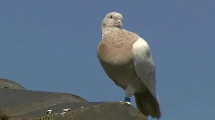 Las autoridades australianas temen que Joe, la paloma que voló 13 mil kilómetros desde Estados Unidos, sea portadora de enfermedades transmisoras (AP)