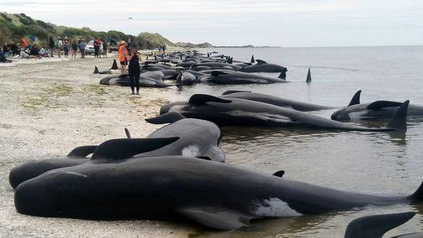Un 75 por ciento de las 416 ballenas que encallaron pudieron sobrevivir. (New Zealand Herald)