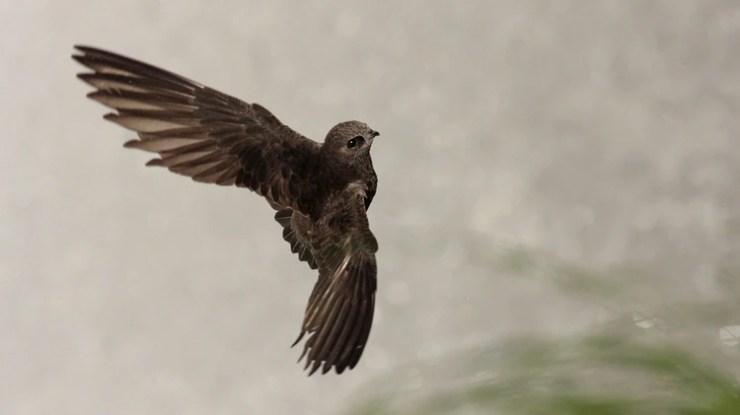 El pájaro vencejo de cascada utiliza los saltos de las cataratas para poder anidar. La sequía afectó de manera directa su estilo de vida