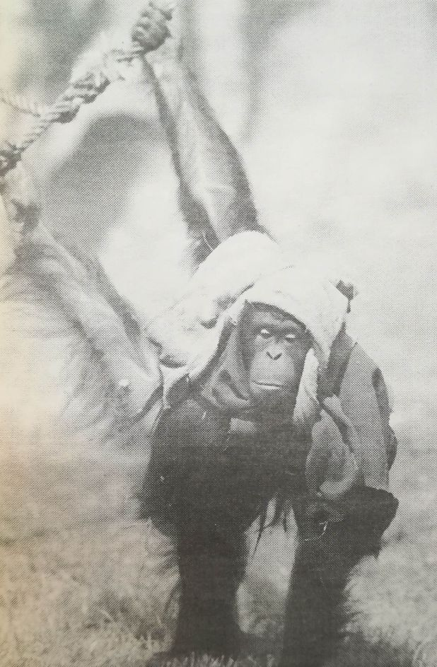 Recién llegada al zoológico de Buenos Aires. El 20 de septiembre de 1994 el diario Clarín retrató a Sandra. (Hemeroteca de la Biblioteca Nacional)