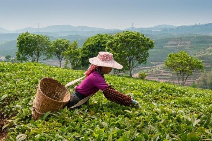 La planta de té crece mejor en un clima cálido con largos días de sol, noches frescas y abundante lluvia. Las plantas de té crecen en altitudes que van desde el nivel del mar hasta los 2000 metros y en latitudes tan al norte como Turquía y tan al sur como Argentina (Shutterstock)