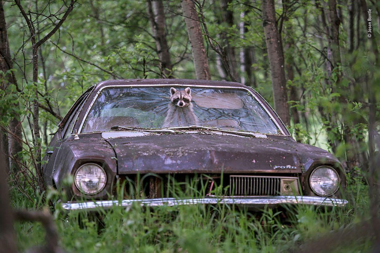 Un mapache asoma su cara por el parabrisas de un coche en una granja abandonada en Saskatchewan, Canadá. (Jason Bantle/Fotógrafo de vida silvestre del año)