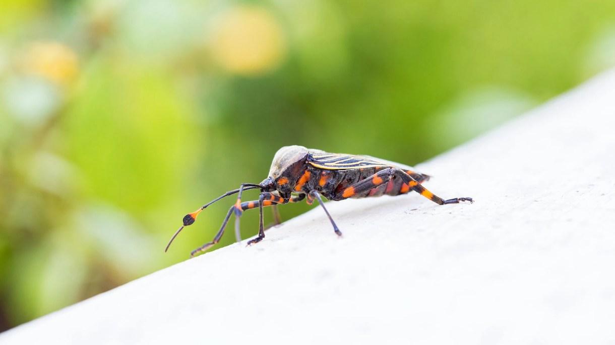 El Chagas afecta en la actualidad a casi 1.500.000 argentinos y la vinchuca es el vector de este mal (Shutterstock)