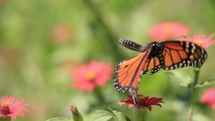 Monarch butterfly migration helps pollination of various plant species (Photo: CONANP)