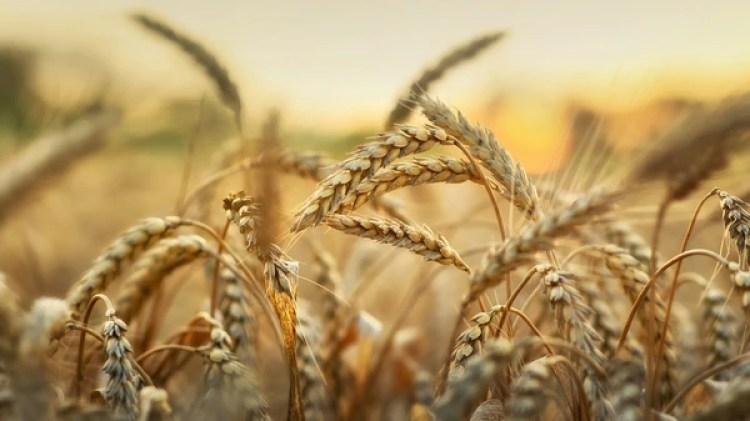 El trigo es el principal cultivo del mundo (Getty)