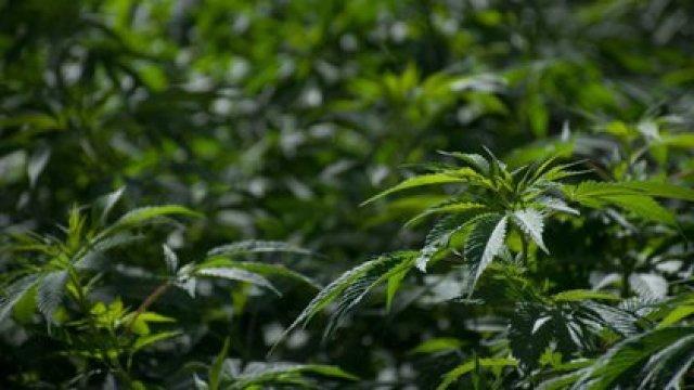 La legislación señala que las semillas a emplearse deben ser de origen legal, es decir, tienen que importarse de bancos registrados(Foto: Cuartoscuro)