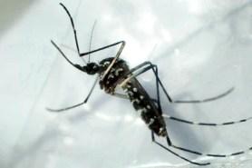 Detalle del mosquito Aedes aegypti, especie que puede transmitir dengue y fiebre amarilla (EFE/Gustavo Amador/Archivo)