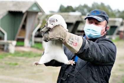 El hecho es que el 23 y 25 de abril se reportaron los primeros brotes de infección por el nuevo coronavirus en visones de dos criaderos en Países Bajos. Visones que habrían sido infectados por sus criadores (REUTERS)