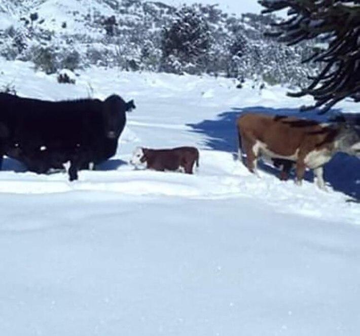 Los animales quedaron aislados por la nieve (Diario Río Negro)