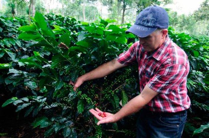 There are more than 120 varieties of arabica in Mexico (Photo: EFE / Germán Reyes)