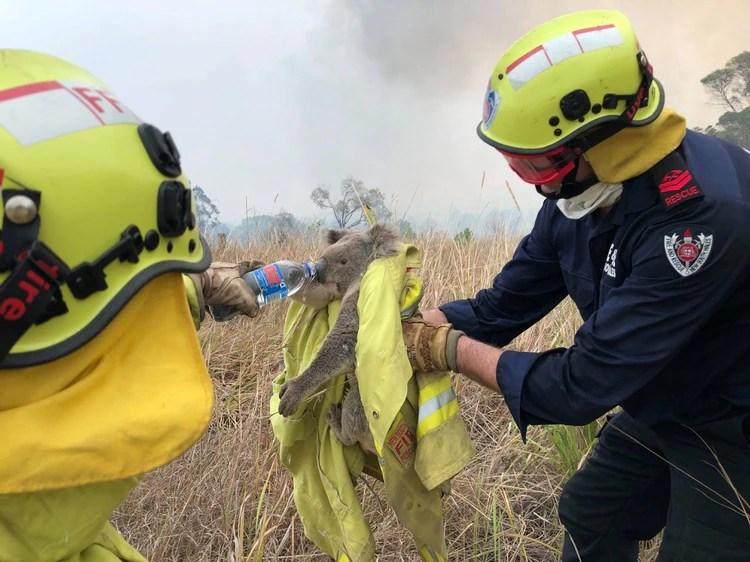 Varias imagines de bomberos rescatando a koalas de las llamas se viralizaron en los últimos dís. (Paul Sudmals/Reuters)