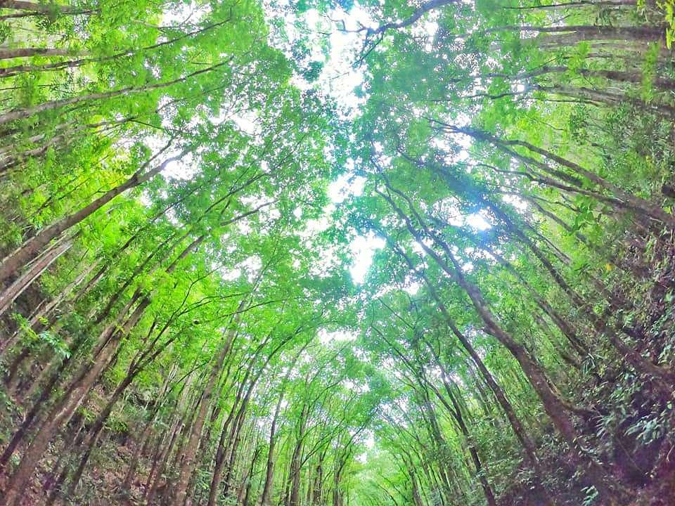 Loboc Bilar Man Made Forest Bohol Philippines Tourist Attraction 0004