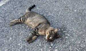 gatto_morto