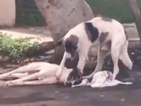 Perro atropellado cuida a su amigo