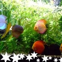 Le comportement des Discus dans un aquarium