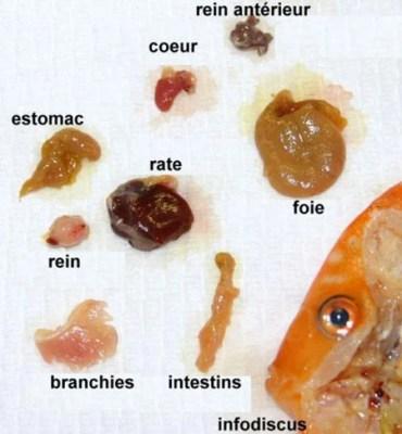 anatomie discus