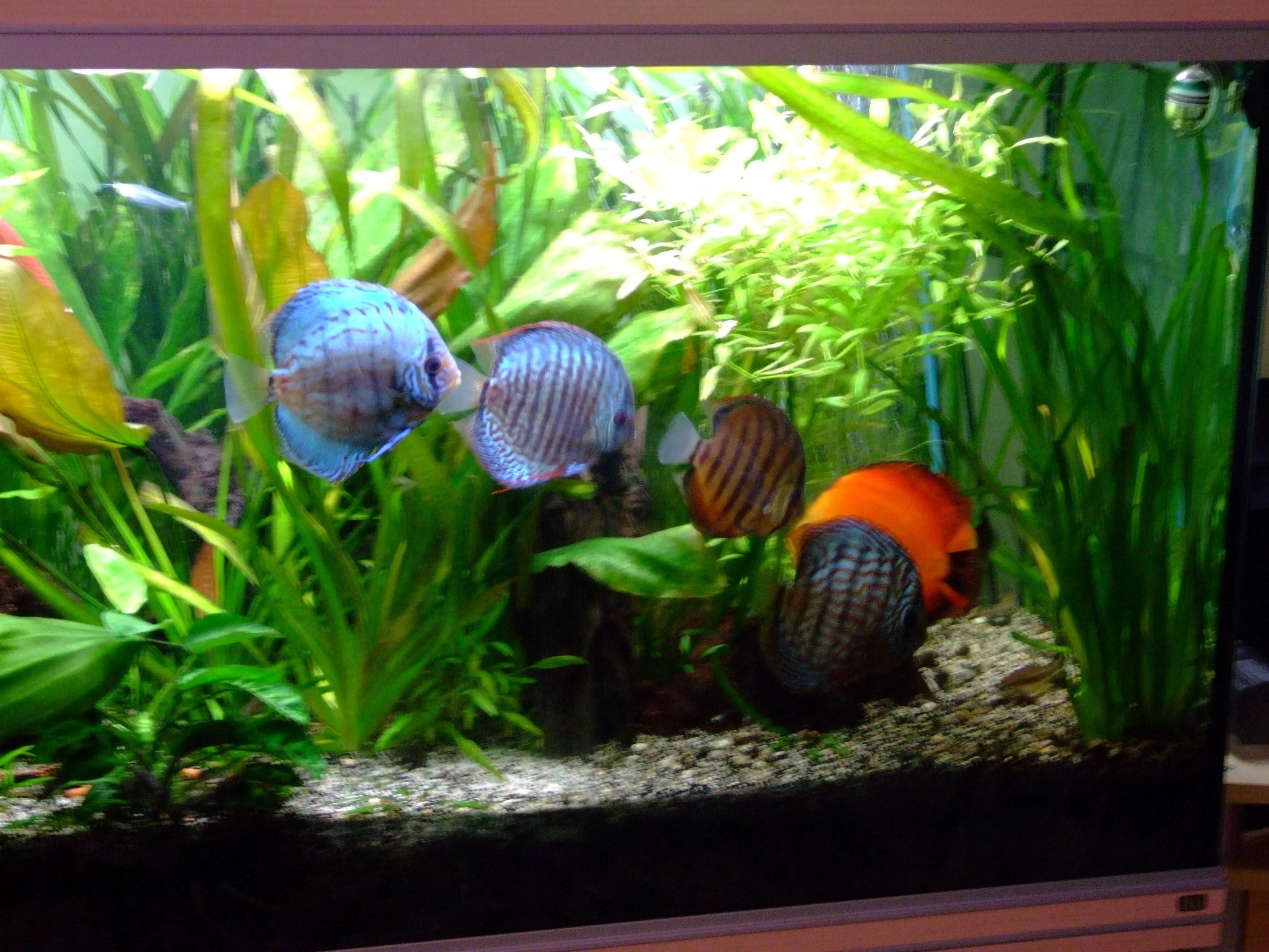 Bien nourrir ses discus et les poissons d 39 aquarium for Donner des poissons