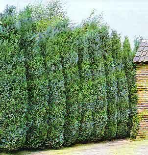 Xerojard n el seto en jardiner a y sus diferentes usos for Tipos de pinos para jardin