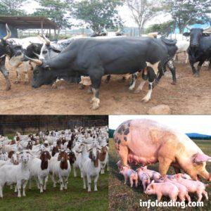 How to improve livestock farming in Nigeria
