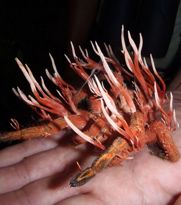 https://i2.wp.com/www.infolites.fr/wp-content/uploads/2015/10/cordyceps-ignota-est-un-champignon-parasite-qui-infecte-les-insectes_66659_w620.jpg?resize=619%2C700