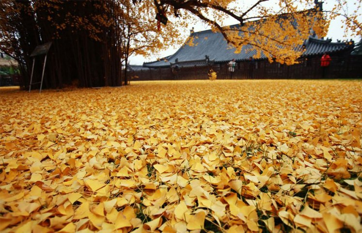 Chine : Le Gingko, un arbre de 1400 ans aux feuilles dorées