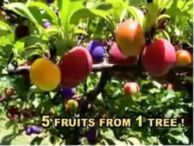 Five Fruit Tree