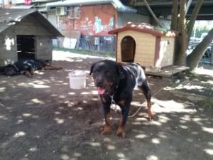 Napoli, Rottweiler alla catena; arrestato pregiudicato del clan Mazzarella per maltrattamento di animali