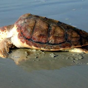 Pozzuoli, tartaruga caretta caretta salvata dalla Guardia Costiera