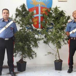 Sorpreso ad innaffiare due piante di cannabis. Arrestato 24enne a San Felice a Cancello