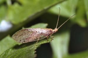 Brown lacewing (Micromus timidus)