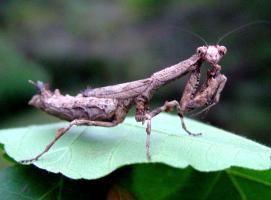 Praying mantis © A. M. Varela