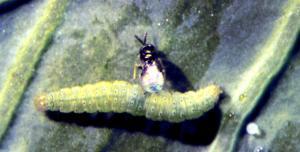 Parasitic wasp Oomyzus laying eggs in diamondback moth caterpillar © icipe