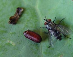 Tachinid fly , a parasitoid of caterpillars. Note brown fly puparium and dead caterpillar. © A. M. Varela