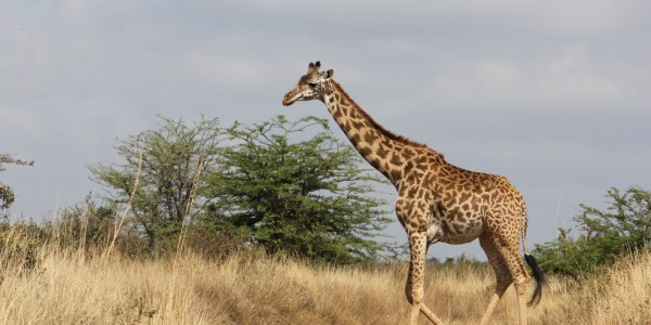 Rothschild Giraffe crossing a path in Nairobi National Park