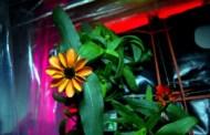 Prima floare crescută în spațiu