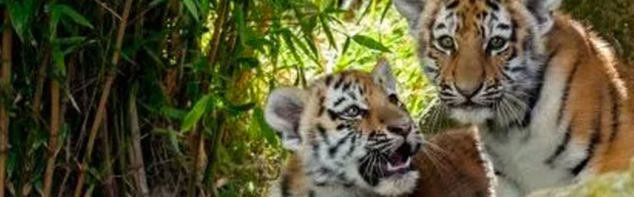 Découverte de tigres indochinois sauvages