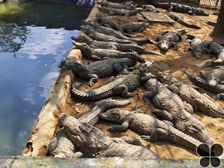Sathanur Dam Crocodile Farm
