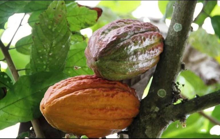 Busca llegar a un millón de hectáreas y lograr la autosuficiencia alimentaria; apoyarán a productores del campo con la siembra de caoba, cedro, cacao, café, canela, hule, guanábana, pimienta, milpa y frutales. EFE / ARCHIVO