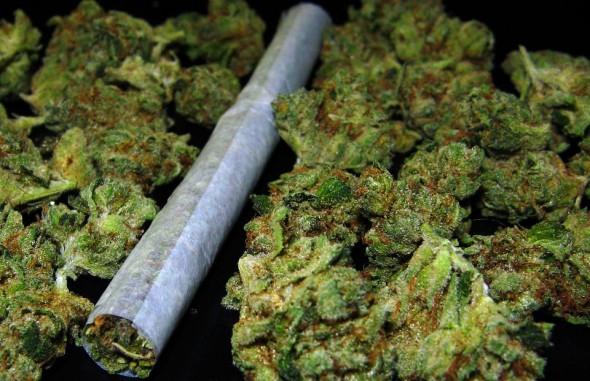 Cannabis sativa-marihuana