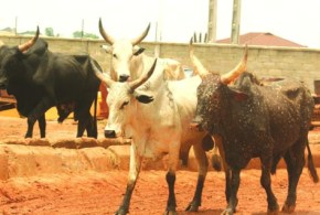 Image result for Four persons in court for allegedly stealing six cows