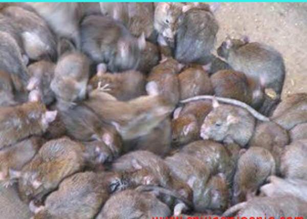 Lassa-fever-in-Nigeria